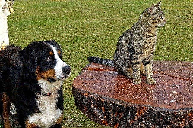 バーニーズと猫